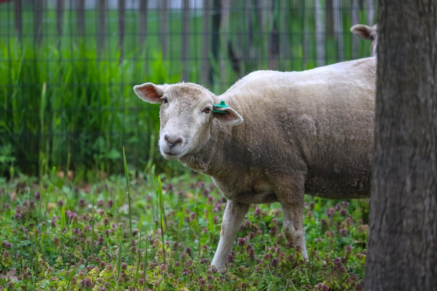 A photo of a sheep on Governors Island